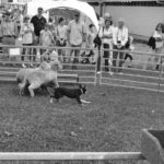Cattle Dog Display - Annual Show